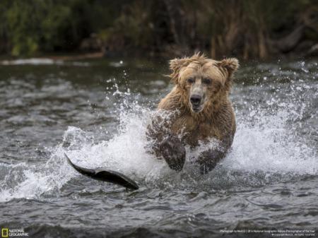 oso-cazando-un-pez